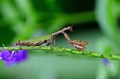 螳螂目:_AUG1285台灣姬螳螂  Acromantis formosana.jpg