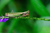 螳螂目:_AUG1282台灣姬螳螂  Acromantis formosana.jpg