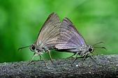 幸福進行式:_APR0228圓翅絨弄蝶(臺灣絨毛弄蝶)Hasora taminatus vairacana.jpg