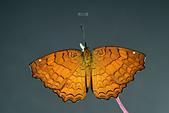 蛺蝶亞科 Nymphalinae -- 03:_DSC2823波蛺蝶(樺蛺蝶)Ariadne ariadne pallidior.jpg