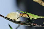 螳螂目:_NOV8820大螳螂 Tenodera aridifolia.jpg