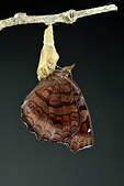 蛺蝶亞科 Nymphalinae -- 03:_DSC3148波蛺蝶(樺蛺蝶)Ariadne ariadne pallidior.jpg
