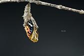 蛺蝶亞科 Nymphalinae -- 03:_NOV5481斐豹蛺蝶(黑端豹斑蝶)Argyreus hyperbius雌.jpg