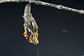 蛺蝶亞科 Nymphalinae -- 03:_NOV5483斐豹蛺蝶(黑端豹斑蝶)Argyreus hyperbius雌.jpg