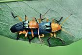 幸福進行式:2017-09-23-23.05.03 ZS retouched 67P  純色凹翅麗菊虎Themus (Telephorus) uniformis Wittmer, 1983.jpg