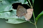 幸福進行式:_DSC6083暗色紫灰蝶(埔里紫小灰蝶)Arhopala paramuta horishana.jpg