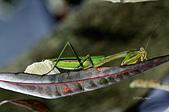螳螂目:_NOV8873大螳螂 Tenodera aridifolia.jpg