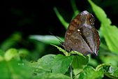 蛺蝶亞科 Nymphalinae -- 03:_MAY9898黯眼蛺蝶(黑擬蛺蝶)Junonia iphita.jpg