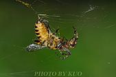 蜘蛛目Order Araneida 02:_DEC9988.jpg