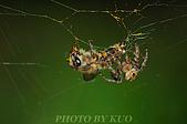 蜘蛛目Order Araneida 02:_DEC9983.jpg