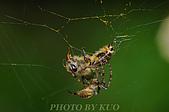 蜘蛛目Order Araneida 02:_DEC9984.jpg