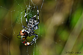 蜘蛛目Order Araneida 02:_JUN7362三角鬼蛛 Araneus dehaani (Doleschall).jpg