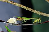 螳螂目:_NOV8828大螳螂 Tenodera aridifolia.jpg