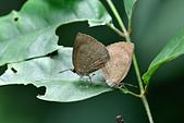 幸福進行式:_DSC6068暗色紫灰蝶(埔里紫小灰蝶)Arhopala paramuta horishana.jpg