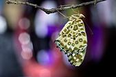 蛺蝶亞科 Nymphalinae -- 03:_DSC1982斐豹蛺蝶(黑端豹斑蝶)Argyreus hyperbius雌.jpg