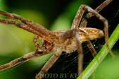 蜘蛛目Order Araneida 02:_NOV8703.jpg