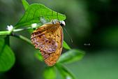 蛺蝶亞科 Nymphalinae -- 03:_SEP9645琺蛺蝶(紅擬豹斑蝶)Phalanta phalantha.jpg