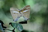 幸福進行式:_NOV6188豆波灰蝶(波紋小灰蝶)Lampides boeticus.jpg