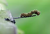鱗翅目 - 幼蟲 蛹:_DSC3907玄珠帶蛺蝶(白三線蝶)Athyma perius幼蟲初齡.jpg