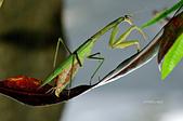 螳螂目:_NOV8680大螳螂 Tenodera aridifolia.jpg