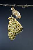 蛺蝶亞科 Nymphalinae -- 03:_DSC1559斐豹蛺蝶(黑端豹斑蝶)Argyreus hyperbius.jpg