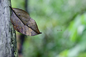 蛺蝶亞科 Nymphalinae -- 03:_JUN1541枯葉蝶(枯葉蝶)Kallima inachis formosana.jpg