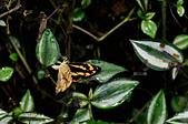 蛺蝶亞科 Nymphalinae -- 03:_OCT0502散紋盛蛺蝶(黃三線蝶)Symbrenthia lilaea formosaus.jpg