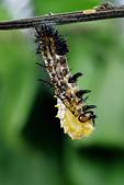 鱗翅目 - 幼蟲 蛹:_DSC3951苧麻珍蝶(細蝶)蛻殼化蛹.jpg