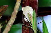 螳螂目:_NOV8817大螳螂 Tenodera aridifolia.jpg