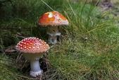 山菇:mushroom-2010765__340.jpg