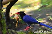 2013前山公園藍鵲:1308876461.jpg