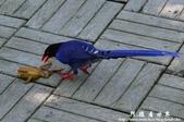 2013前山公園藍鵲:1308876459.jpg