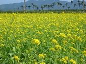 花蓮-富里鄉-油菜花:1733894234.jpg
