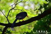 2013前山公園藍鵲:1308876438.jpg
