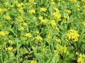 花蓮-富里鄉-油菜花:1733894240.jpg