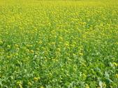 花蓮-富里鄉-油菜花:1733894232.jpg