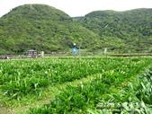 2012竹子湖海芋季:1226754825.jpg