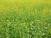 花蓮-富里鄉-油菜花:1733894243.jpg