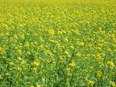 花蓮-富里鄉-油菜花:1733894237.jpg