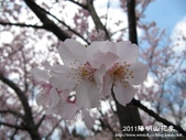 2011陽明山花季:1481334702.jpg