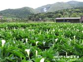 2012竹子湖海芋季:1226754831.jpg