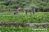 2012竹子湖海芋季:1226754837.jpg