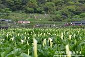 2012竹子湖海芋季:1226754843.jpg