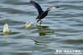 鰲鼓溼地-夕照、黑面琵鷺:1819987116.jpg