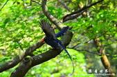 2013前山公園藍鵲:1308876463.jpg