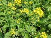花蓮-富里鄉-油菜花:1733894235.jpg