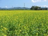 花蓮-富里鄉-油菜花:1733894238.jpg
