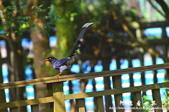 2013前山公園藍鵲:1308876448.jpg