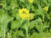 花蓮-富里鄉-油菜花:1733894241.jpg