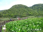 2012竹子湖海芋季:1226754829.jpg